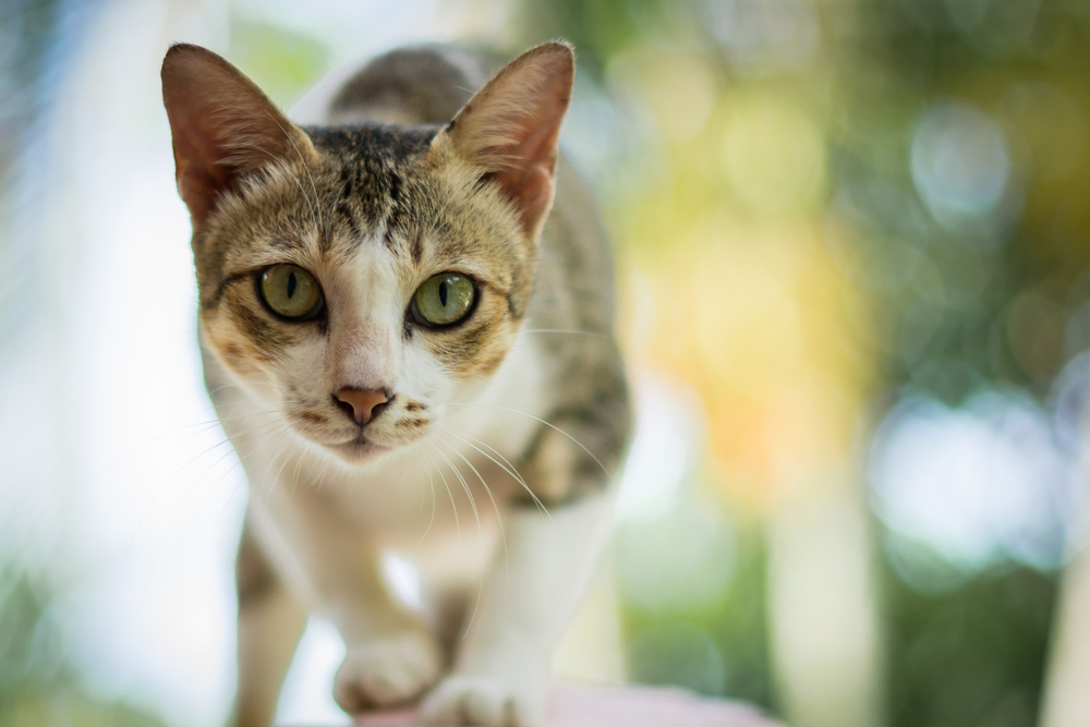 Proč se kočky občas chovají jako psychopati? Protože jim nerozumíme