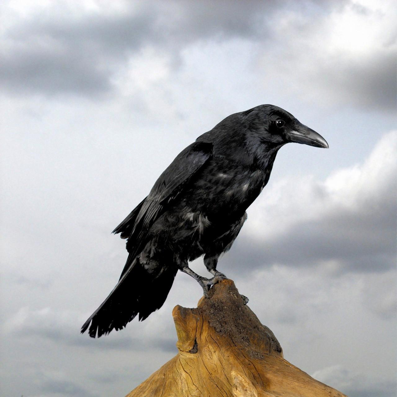 Vrána je stejně chytrá jako šimpanz. Uvažuje logicky a umí plánovat
