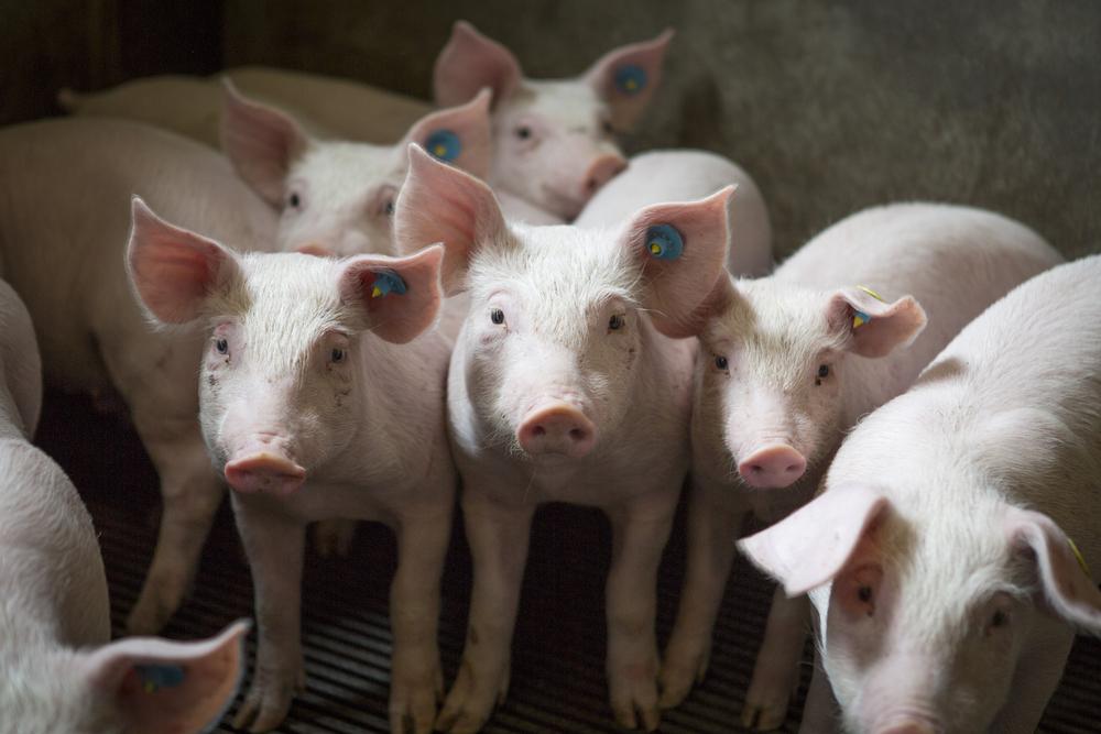 Antibiotika přestávají účinkovat. Je jich moc. Hlavně v živočišné výrobě