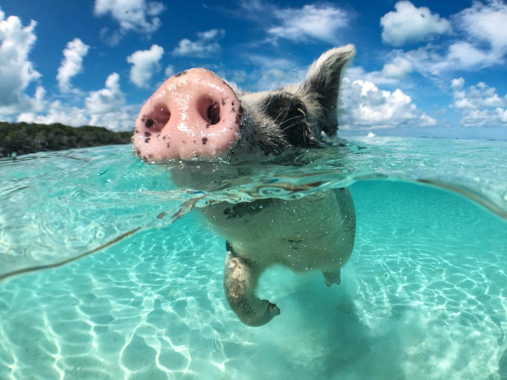 Atrakce pro turisty, nebo zvířecí radost? O čem vypovídají plavající prasata